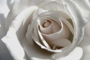 white-rose-purity
