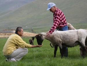 sheep eating from hand of stranger