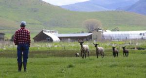 shepherd calling sheep