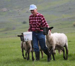 shepherd feeding sheep