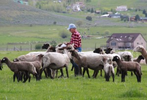 shepherd with sheep leon fielding