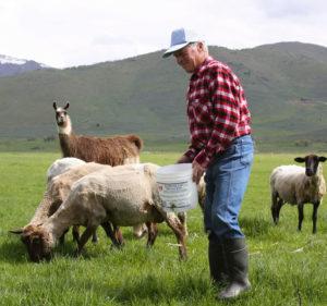 sheep llama shepherd