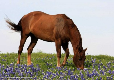 Horse and Bluebonnets by TexasEagle